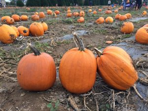 Line of 3 pumpkins